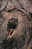 A Red-billed hornbill (Tockus erythrorhynchus)  chick sticks its head out of the nest hole--its first step toward emerging into the outside world.