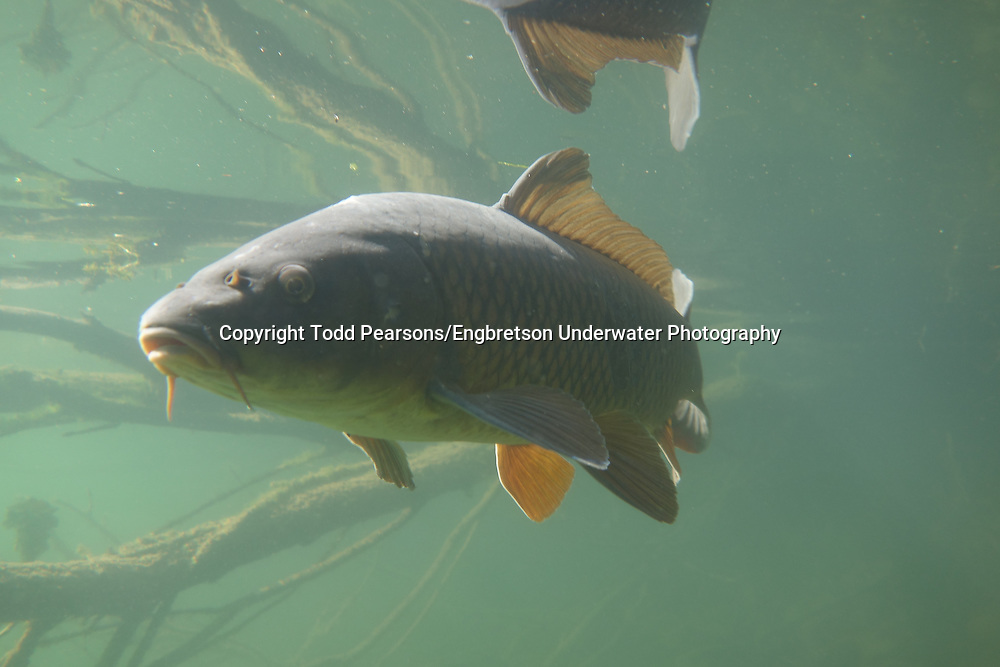 Common carp engbretson underwater photography for Todd s tropical fish