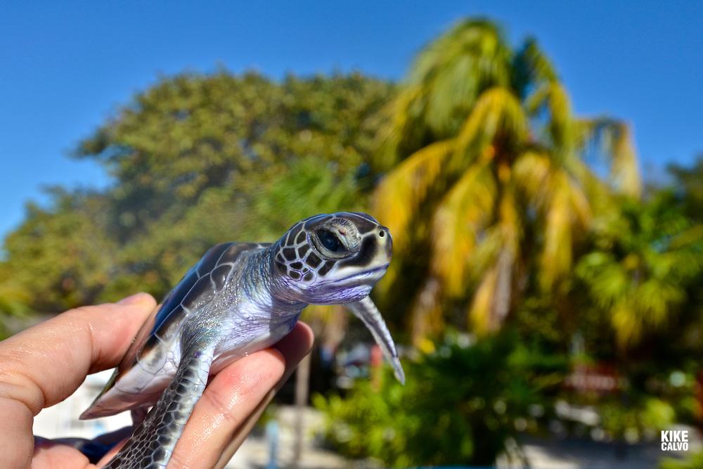 Hand holding a green sea turtle baby, chelonia mydas,