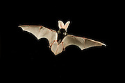 A spotted bat flying at night in the Kaibab National Forest, Arizona. (1.5 miles from the edge of the Grand Canyon). The distinctive spots on the back give this animal its name.