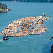 Tugboats pull a huge raft of harvested logs through Deception Pass, a strait of water separating Whidbey Island from Fidalgo Island. Deception Pass connects Skagit Bay (part of Puget Sound) with the Strait of Juan de Fuca, which are all part of the Salish Sea. Deception Pass is the most-visited State Park in Washington.