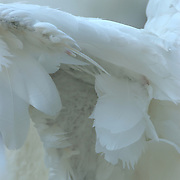 Mute Swans wing showing clipped feathers