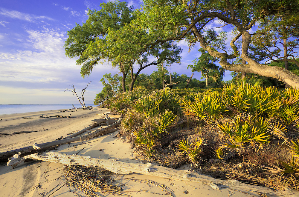 1300-1007 ~ Copyright: George H.H. Huey ~ Beach with Saw palmetto [Serenoa repens] or [Sabal serrulatum] and Sand live oak,  [Quercus germinata] along St. Catherine's Sound.  St. Catherine's Island, Georgia.