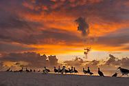 Laysan albatrosses on beach at dawn, Phoebastria immutabilis, Midway Atoll, Hawaiian Leeward Islands