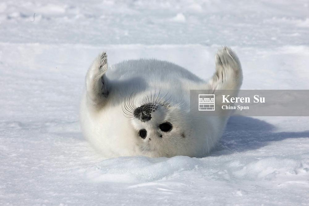 Harp seal pup playing on ice, Iles de la Madeleine, Quebec, Canada