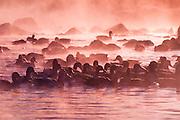 Alaska. Anchorage. Mallard Ducks (Anas platyrhynchos).