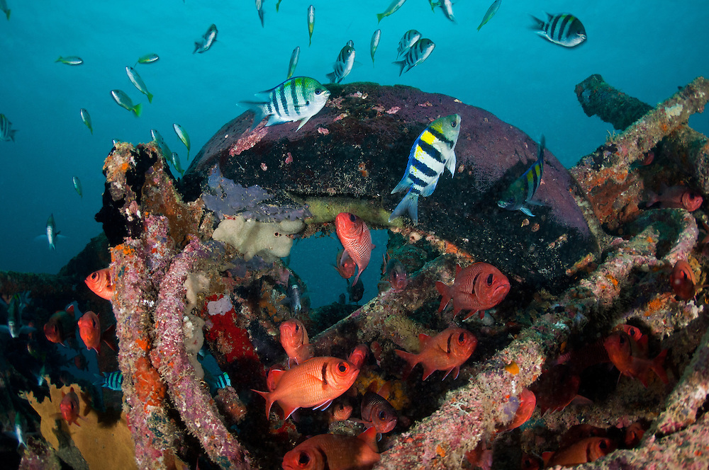 Sergeant major fish laying eggs on an artificial reef made from old car tyres, Mabul, Sabah, Malaysia.