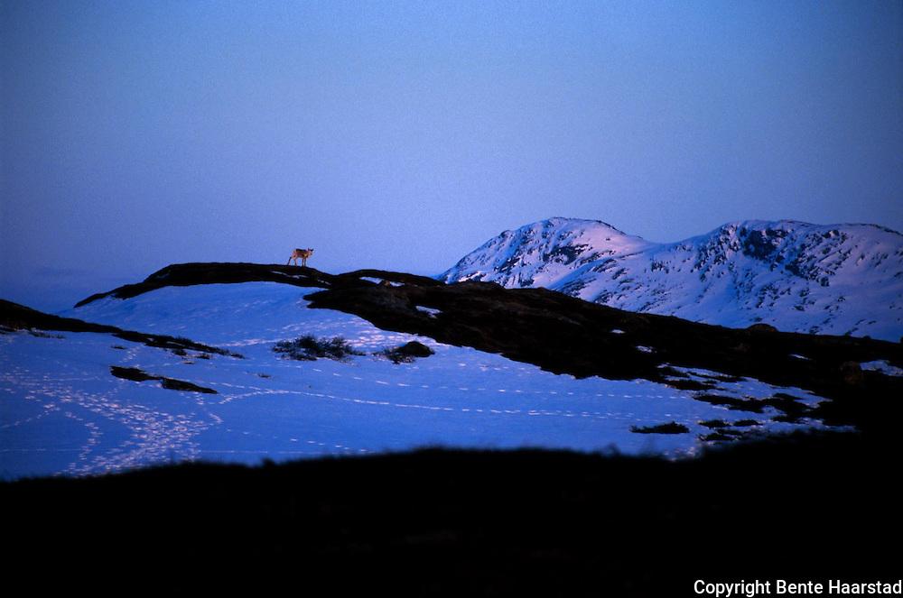 Rein ved Luruvatnet. Sørsamisk reindrift i Nord-Trøndelag. Southsami reindeer herding in Mid-Norway. Luru reinbeitedistrik (Låarte Sijte).