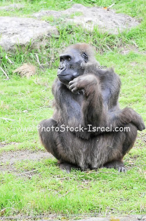 close up portrait of a gorilla in captivity