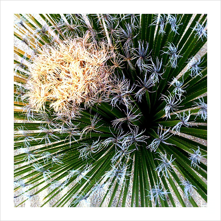 Photograph of a blooming cactus / cacti in Capella Pedregal, Cabo San Lucas resort, Baja California, Mexico.