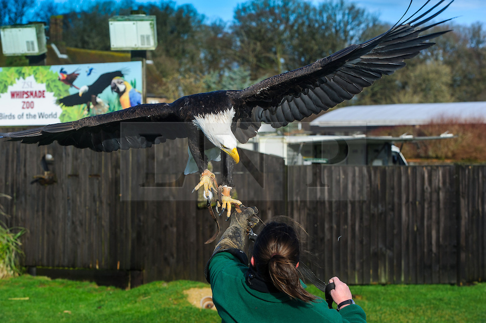 &copy; Licensed to simonjacobs.com. 07/01/2014 Whipsnade, UK.  Apache the  American bald eagle is brought under control by keeper Rebecca Feenan during the annual stocktake at Whipsnade Zoo.<br /> Home to more than 2,500 animals zookeepers take stock of every invertebrate, bird, fish, mammal, reptile, and amphibian.<br /> The compulsory count is required as part of the zoo&rsquo;s license, the results are logged and the data is shared with zoos around the world to manage international breeding programmes. Photo credit : Simon Jacobs