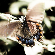 A Black Swallowtail butterfly on Jasmine, cooling her wings.