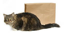 "Tabby cat outside of a paper bag, illustrating the saying ""the cat's out of the bag."""