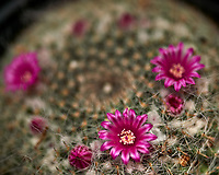 Small barrel cactus flowers. Single image from the 13 focus stacked images taken with a Nikon Df camera and 105 mm f/2.8 VR macro lens (ISO 100, 105 mm, f/4, 1/125 sec) and SB-910 flash (EV -2).