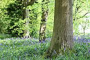 Bluebells in Lane Woods, near Little Chalfont in Bucks