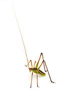 Chestnut Short-wing Katydid (Dichopetala castanea)<br /> TEXAS: Blanco Co.<br /> Pedernales Falls State Park<br /> 9-May-2012<br /> J.C. Abbott &amp; K.K. Abbott