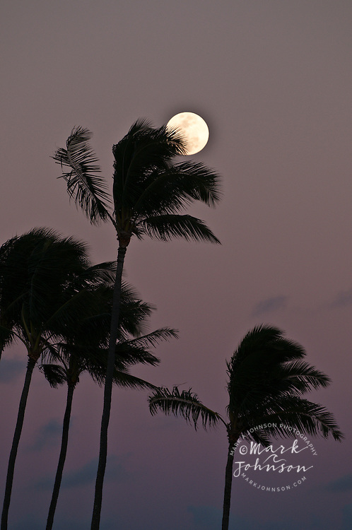 Coconut Tree grove, Kauai, Hawaii