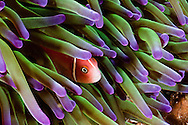 This common anemonefish, Amphiprion perideraion, is most often found associated with the anemone, Heteractis magnifica, as pictured here. Indonesia.