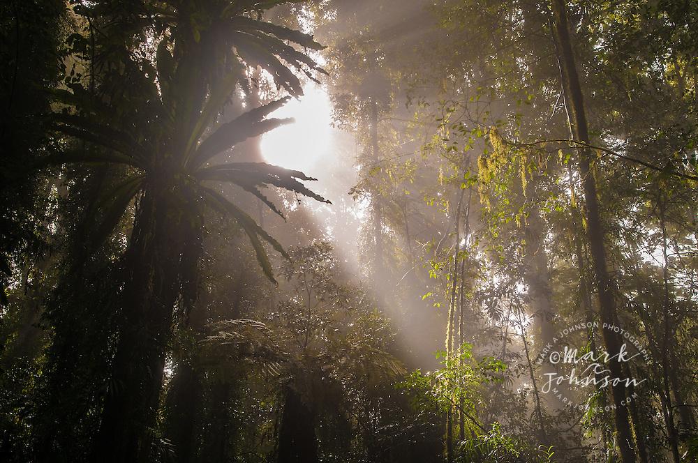 Temperate rain forest, Dorrigo National Park, NSW, Australia