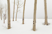 Quaking aspen (Populus tremuloides) trees in snow, Uncompahgre National Forest, Colorado.