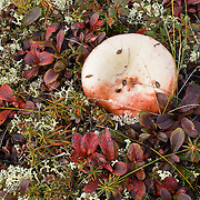 Alpine tundra plants are dwarfed by harsh climate at Wonder Lake, Denali National Park, Alaska, USA. Fungi fruits with a white mushroom.