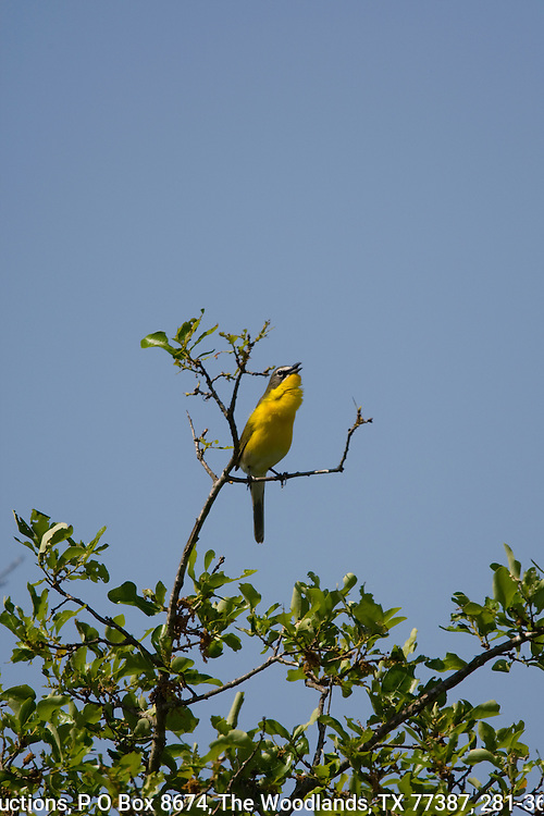 Yellow-breasted chat, singing from a perch, spring, central Texas.