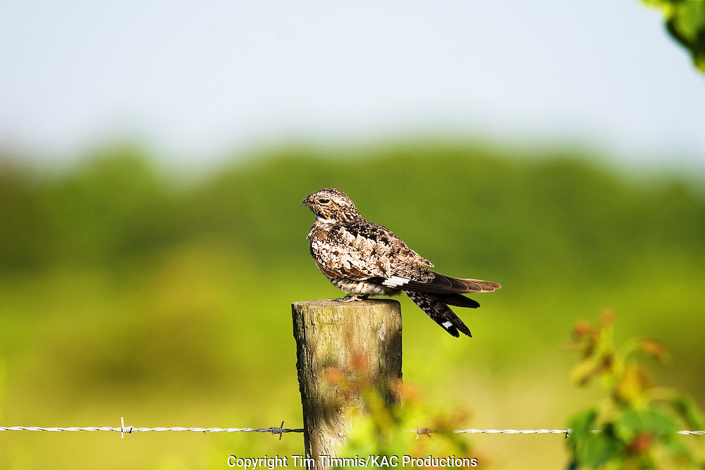 Common Nighthawk, Chordeiles minor, Brazoria NWR, sitting on fence post, soft lighting
