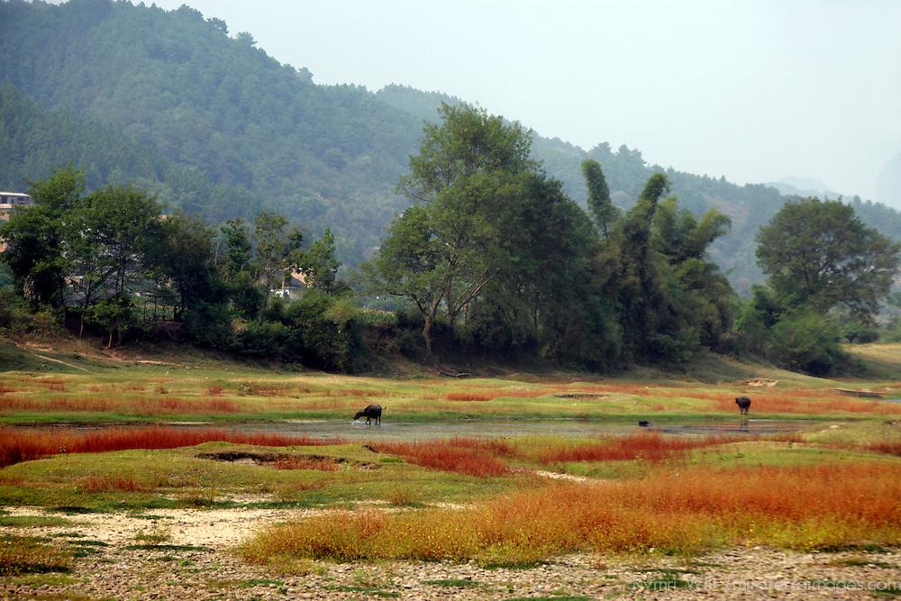 Asia, China, Guilin. Water Buffalo graze in autumn grasses along Li River.