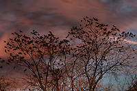 Middletown, New York - Crows gather in tree branches at sunset on Nov. 12, 2016. The streaks in the sky are birds flying during the long exposure.