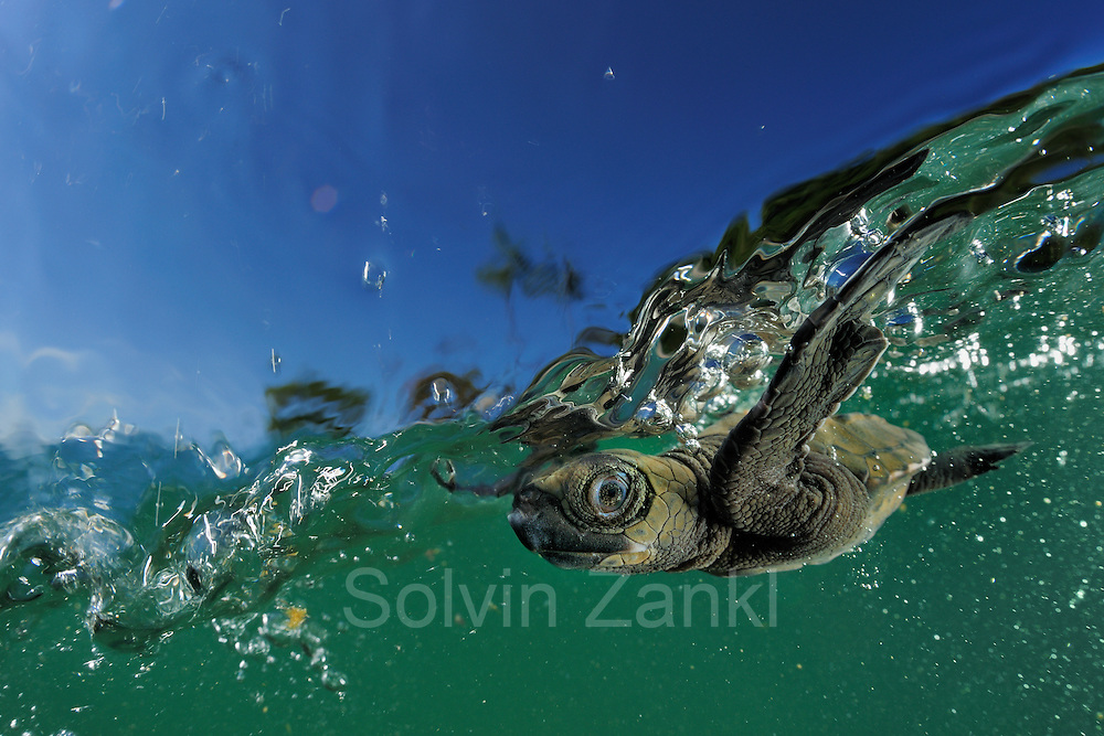 As soon as it entered the water the young olive sea turtle (Lepidochelys olivacea) struggles against the swell to swim away from the coast. The so-called swimming frenzy lasts for approximately 48 hours to keep the hatchlings from being washed ashore. The turtles do not feed within the first days as they live on the reserves they acquired from the yolk in their eggs. The swimming hatchlings often fall prey to e.g. fregate birds or larger fish. [size of single organism: 6 cm] | Die junge Oliv-Bastardschildkröte (Lepidochelys olivacea) hat es trotz der lauernden Geier, Störche, Hunde und Krabben bis ins Meer geschafft. Ihre Kraftreserven aus dem Dotter werden ihr nun helfen, einen ganzen Tag lang fast ununterbrochen zu schwimmen. Als Orientierung dient dabei die Wellenrichtung, gegen die sich die kräftigen Winzlinge stemmen, um die Küste hinter sich zu lassen. Doch auch im Wasser lauern Gefahren: Raubfische von unten und Fregattvögel von oben.