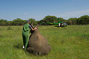 White Rhinoceros (Ceratotherium simum) immobilized &amp; Kester Vickery of Conservation Solutions who will relocate the animal.<br /> Private Game Reserve<br /> SOUTH AFRICA<br /> RANGE: Southern &amp; East Africa<br /> ENDANGERED SPECIES