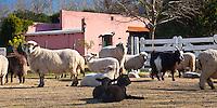 GANADO OVINO Y CAPRINO, TRANQUERA Y CASCO DE UNA GRANJA, SAN ANTONIO DE ARECO, PROVINCIA DE BUENOS AIRES, ARGENTINA (PHOTO © MARCO GUOLI - ALL RIGHTS RESERVED)