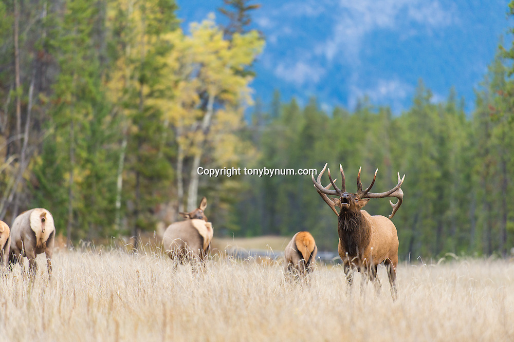bugling bull elk with cows
