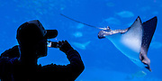 Okinawa Aquarium, Japan.  Silhouette of man photographing a Giant Manta Ray  swimming by.