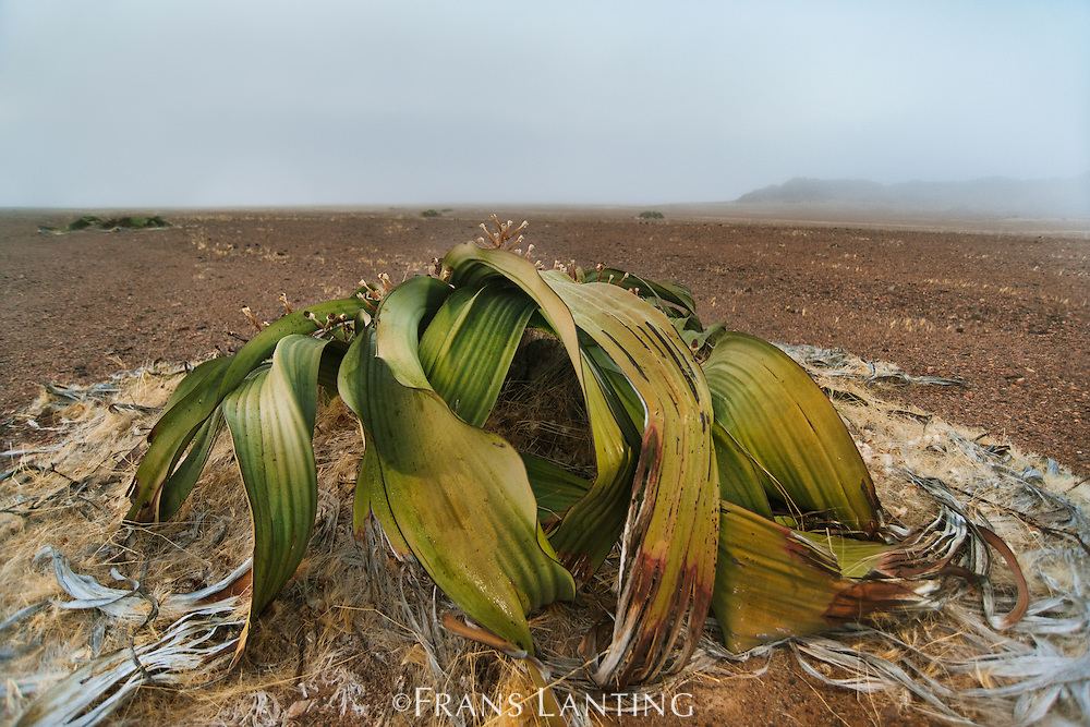Welwitschia plant in fog, Welwitschia mirabilis, Messum Crater, National West Coast Recreation Area, Namibia