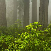 Del Norte Coast Redwood State Park, rhododendron, trees, California