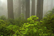 Del Norte Coast Redwood State Park, rhododendron, trees, California