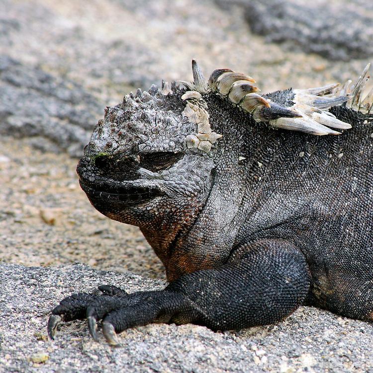 South America, Ecuador, Galapagos Islands. Marine Iguanas on Fernandina Island.