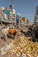 Cows graze on garbage at City Market, Bangalore, India
