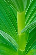 Corn Lily or False Hellebore; Cascade Mountains, Washington.