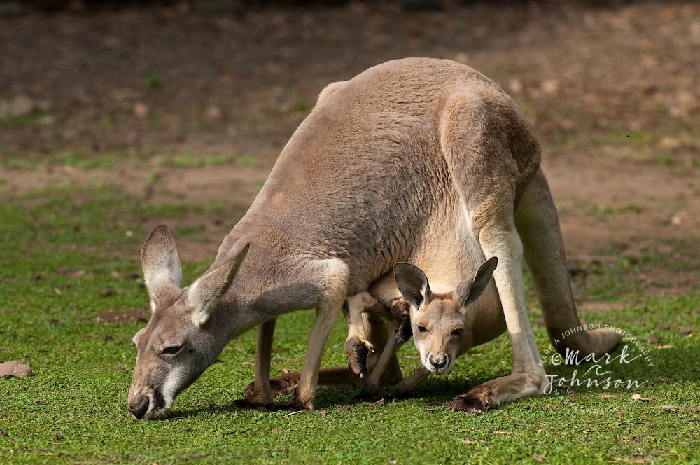 Eastern Gray Kangaroo mother with Joey in pouch, Currumbin Wildlife Sanctuary, Gold Coast, Queensland, Australia