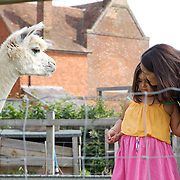 Isy Large and Charlotte, 6, feeding alpacas in the paddock at Hares Farm. CREDIT: Vanessa Berberian for The Wall Street Journal<br /> UKFARM-Hares Farm