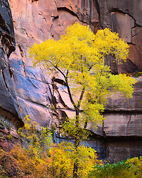 A cottonwood tree rises above all others in Zion National Park.
