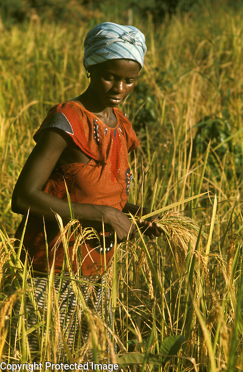 Africa, Liberia, Kpelle Tribe: woman harvesting rice.