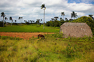 A farm near Santa Lucia, Pinar del Rio, Cuba. There is a horse and small barn with fields and palm trees behind.