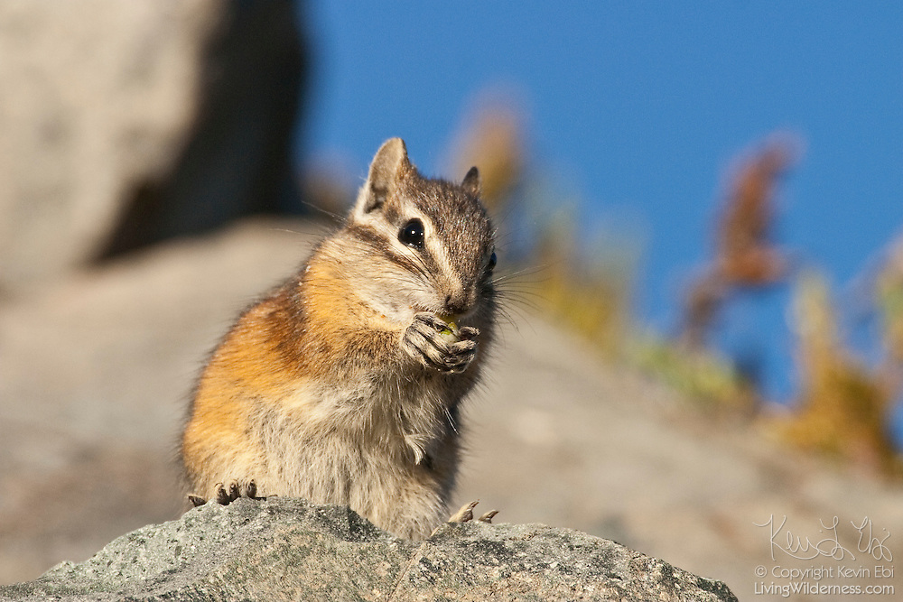 A Townsend's Chipmunk (Tamias townsendii) feasts on a nut it found along the Wonderland Trail in Mount Rainier National Park, Washington.