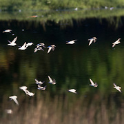 A small flock of western sandpipers (Calidris mauri) flies over and is reflected on the waters of the Edmonds Marsh, Edmonds, Washington.