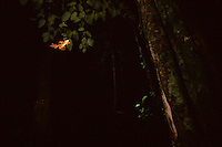 A Harlequin Tree Frog (Rhacophorus pardalis) flying through the darkness.