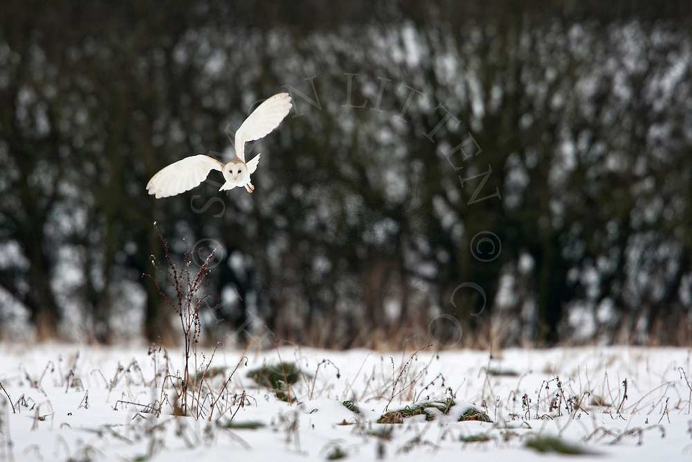 Barn Owl (Tyto Alba) adult hunting over snow covered ground, Norfolk, UK.