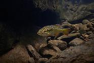 Redeye Bass, Underwater